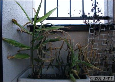 ミョウガ 170日目 (2009/11/22)
