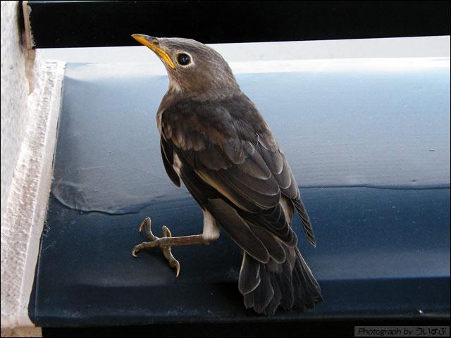 名前を知りたい鳥、くちばしが黄色いのが特徴です。