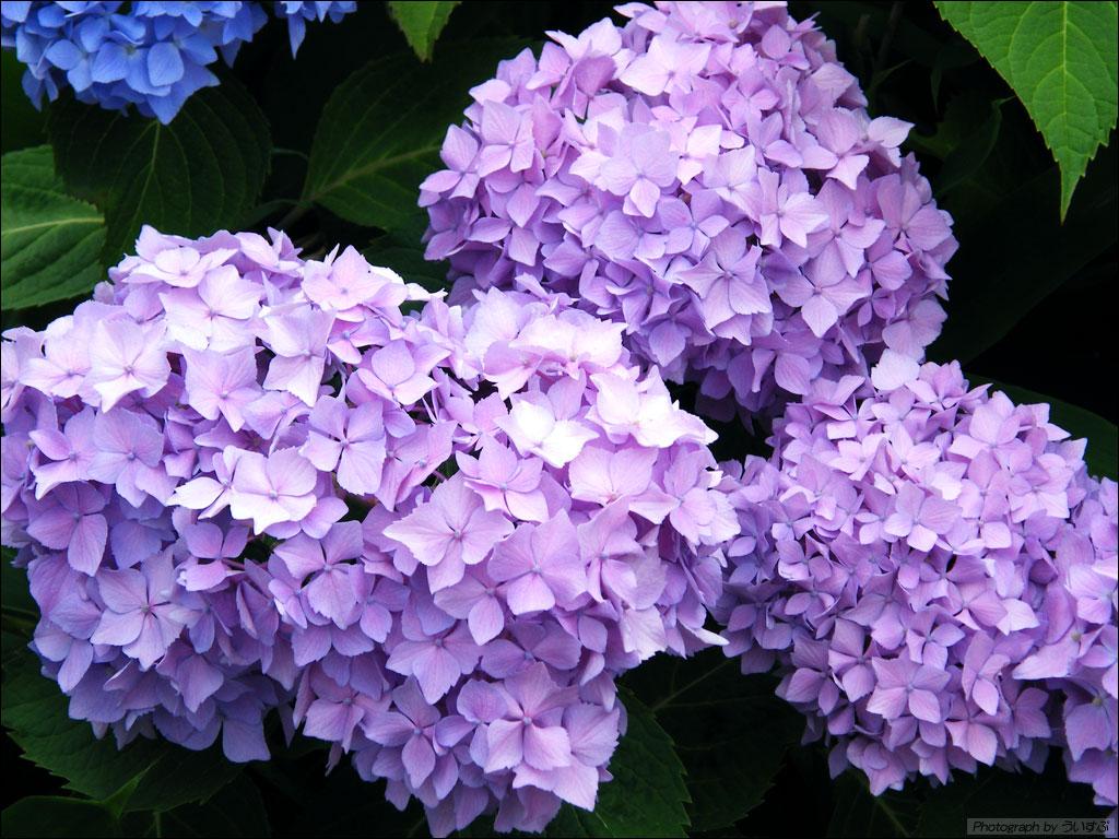 紫陽花 - Hydrangea -