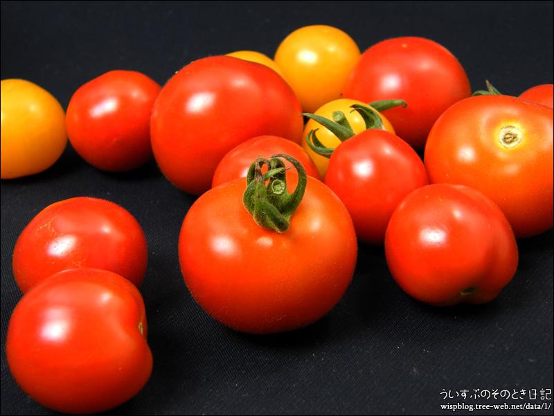 トマト、収穫!