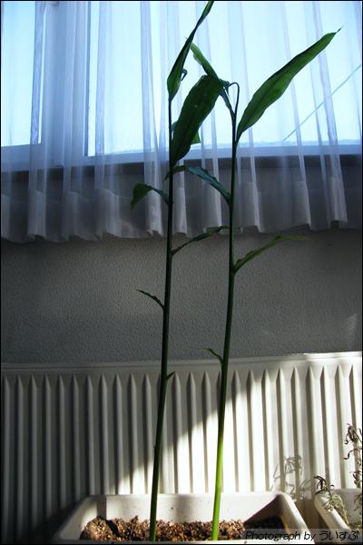 ミョウガ成長日記 042日目 (2010/02/01)