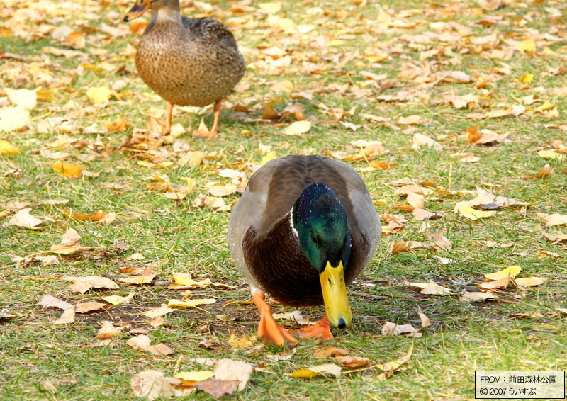 前田森林公園「鴨(2)」