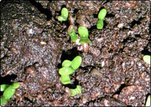 カモミールの芽