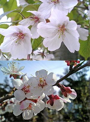 梅に桜に焼肉はまだかいな。