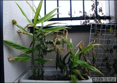 ミョウガ 162日目 (2009/11/14)