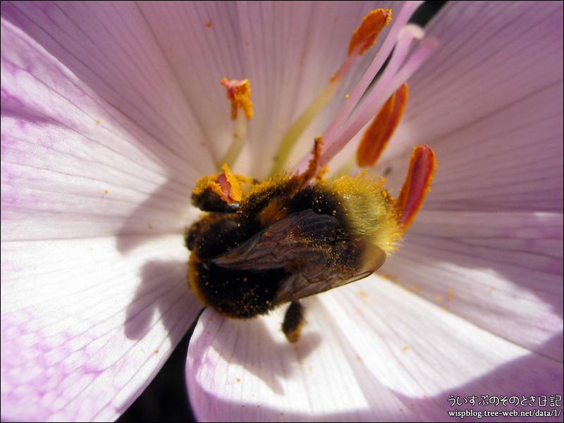 コルチカムとハチ