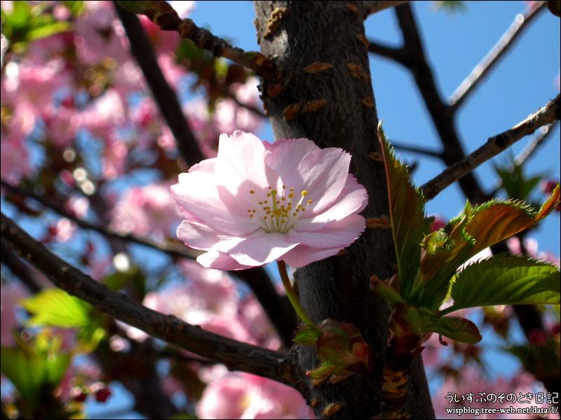 桜(八重咲き)