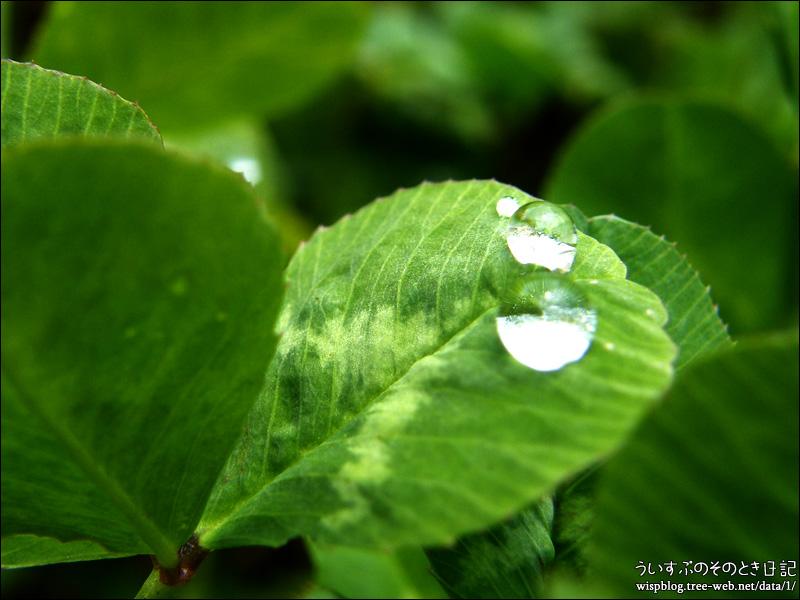 クローバーと水滴