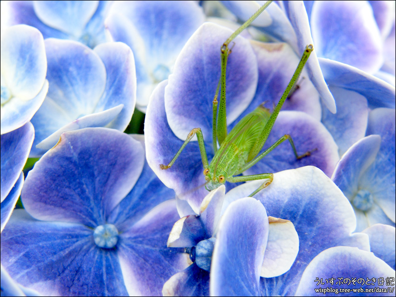 紫陽花 と バッタ