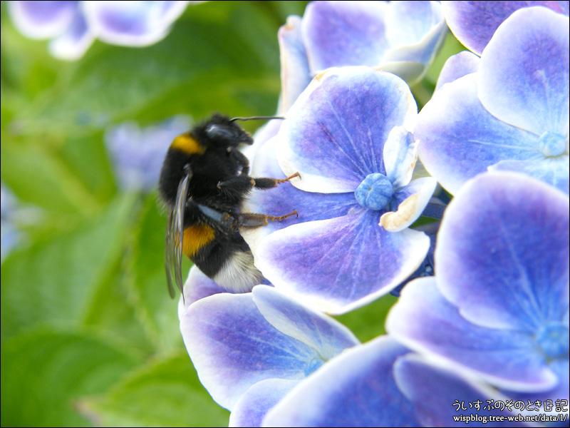 紫陽花 と アブ