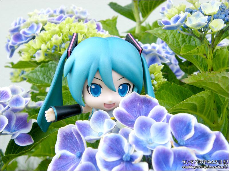紫陽花 と ミクダヨー