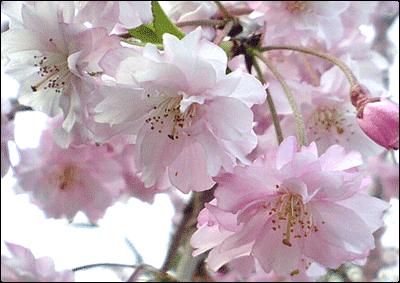 枝垂桜(アップ)