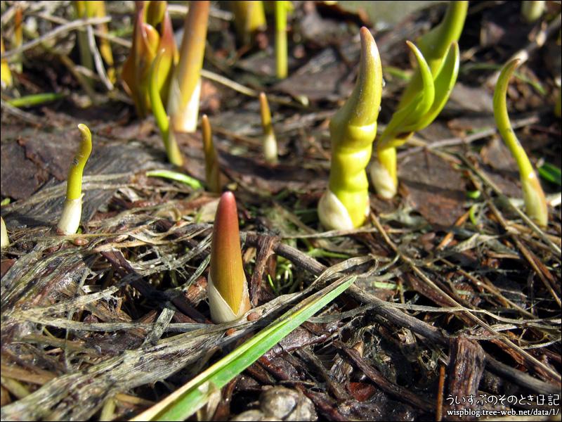 コルチカム(イヌサフラン)の芽吹き