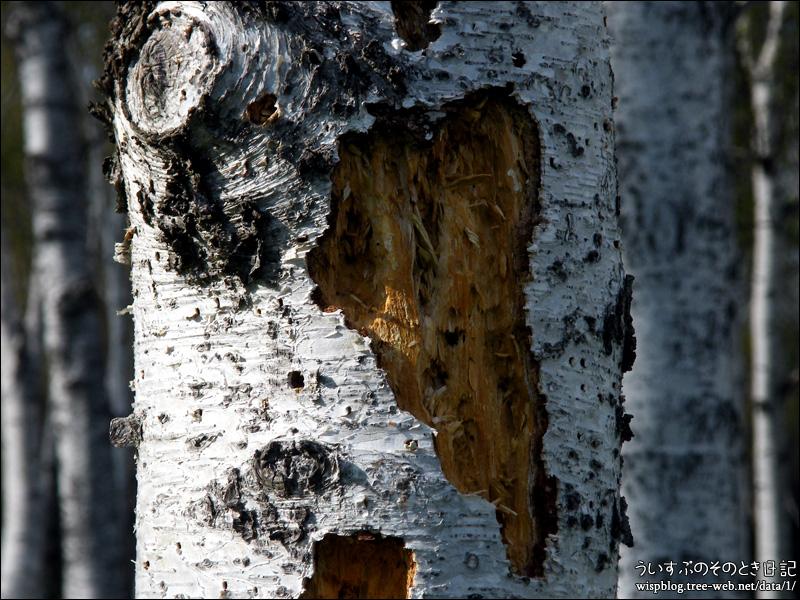 前田森林公園 / 立ち枯れした白樺