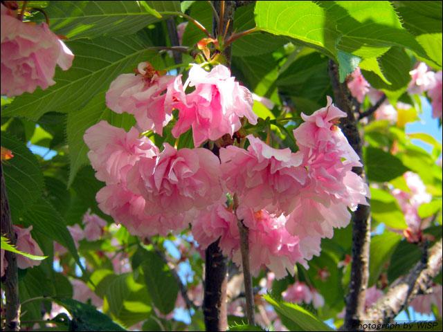 前田森林公園 桜