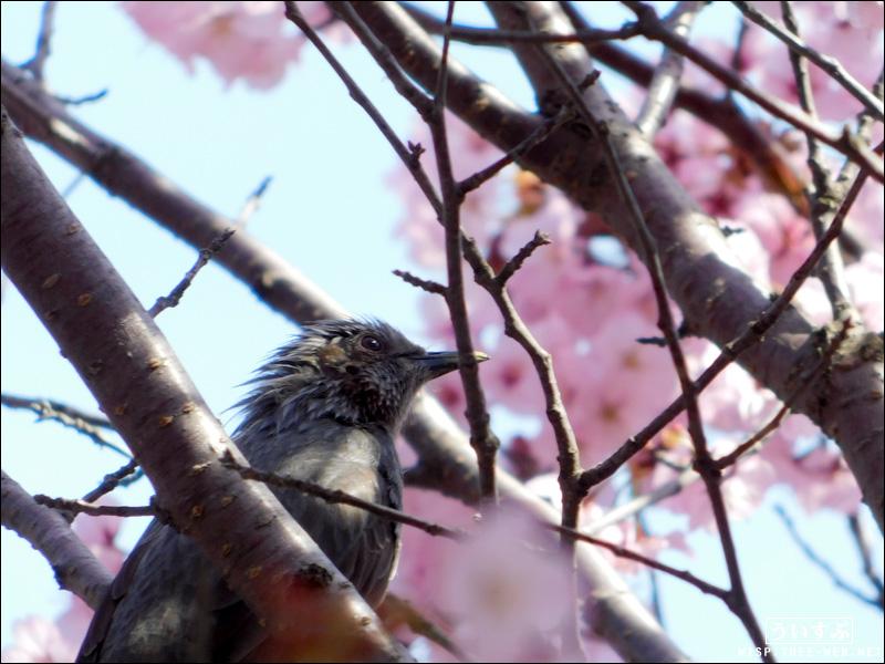 前田森林公園 〜さくら〜 野鳥