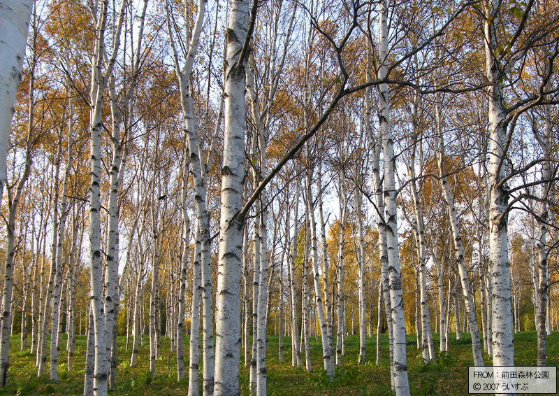 前田森林公園「白樺の林(1)」
