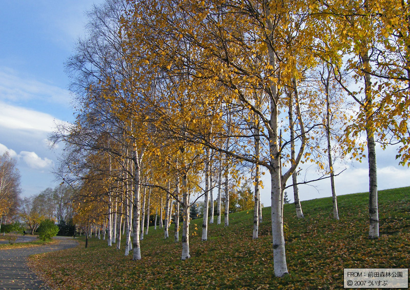 前田森林公園「白樺の林(2)」