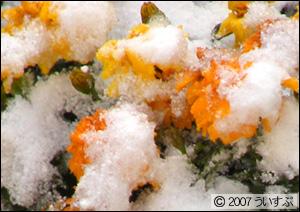 花に積もった雪 2007/11/15
