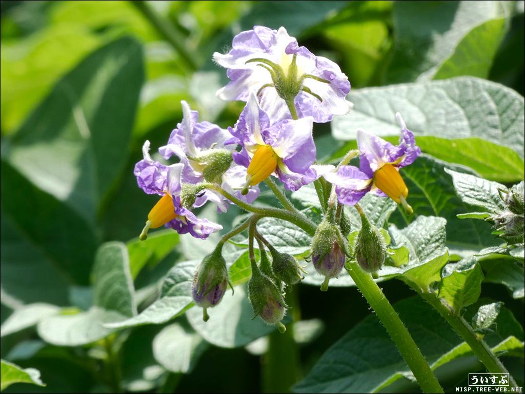 庭:男爵の花