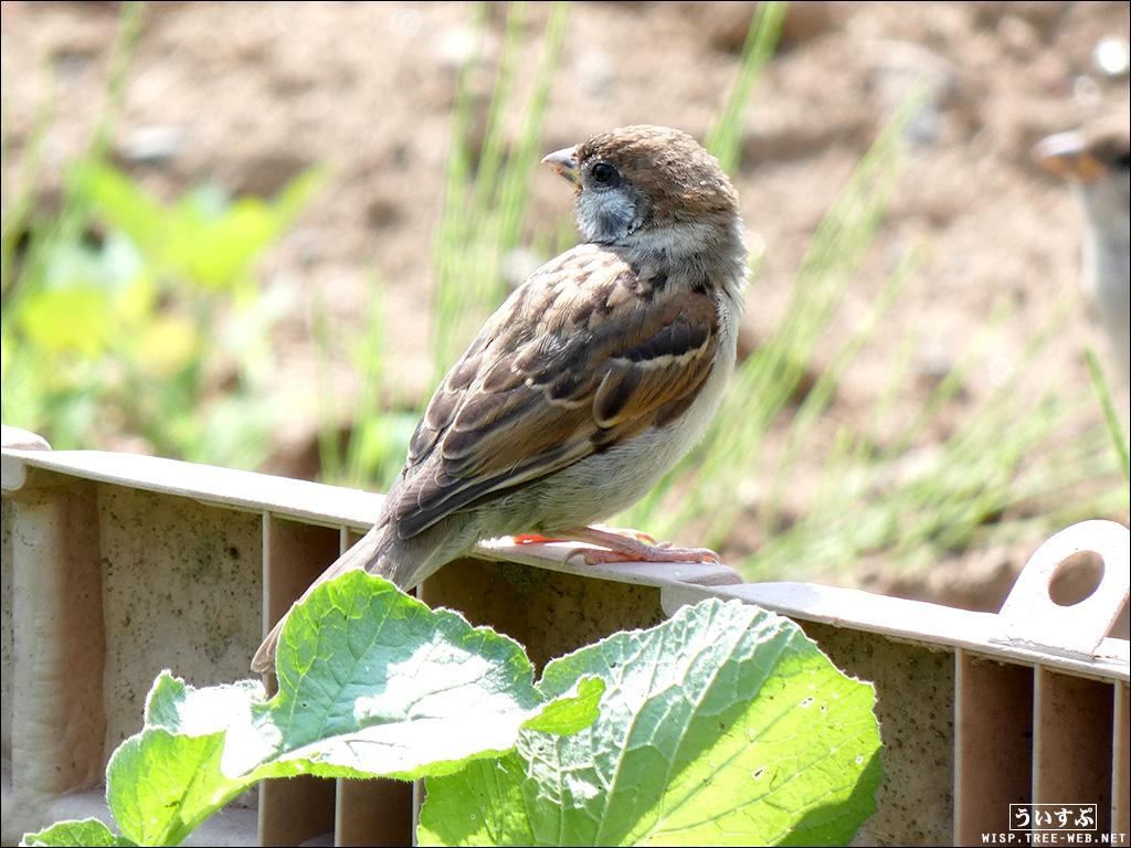 庭:野鳥 −スズメ−