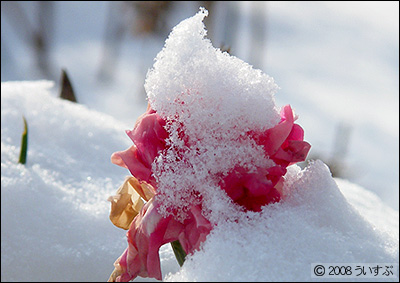雪化粧のカーネーション