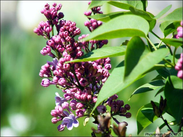 ライラック (Lilac)