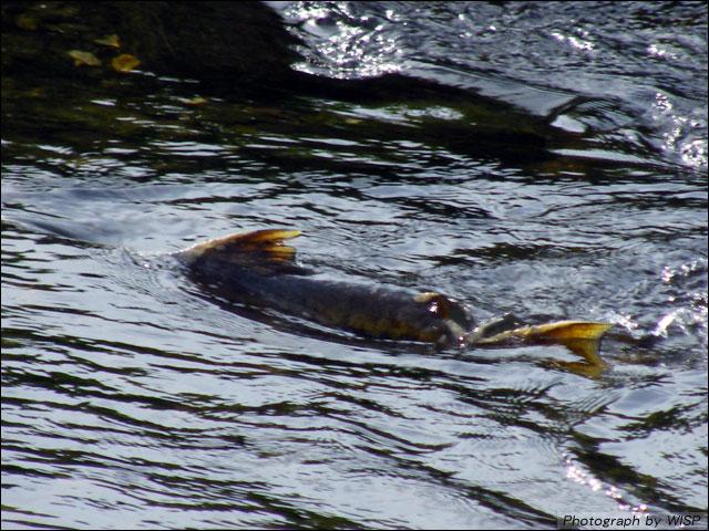 鮭の遡上(そじょう)を見てきました。