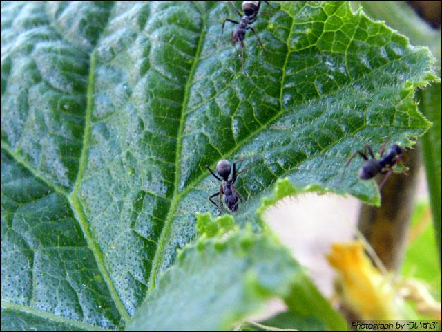 キュウリの葉の上のアリ