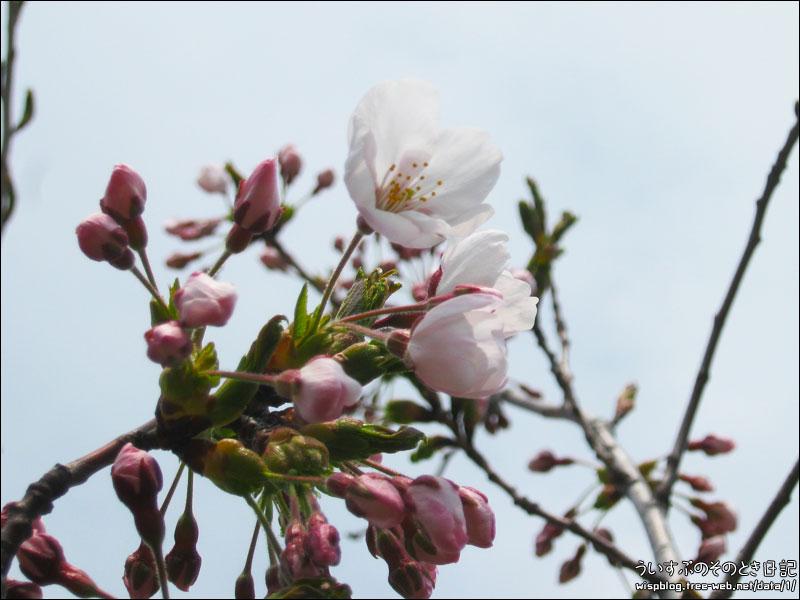 桜が咲き始めました。