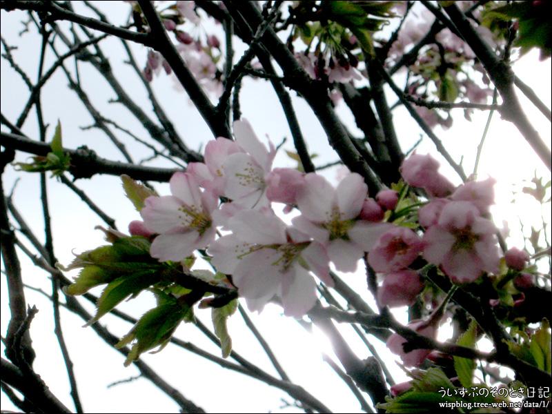 札幌でも桜の開花が発表されました。