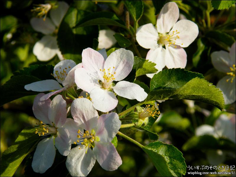 林檎の花が満開でした。