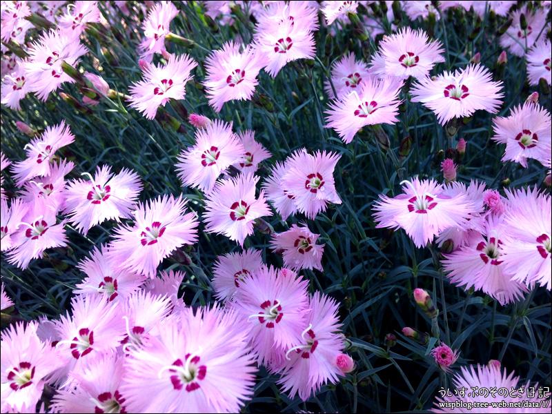 ナデシコ 花盛り。