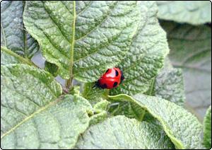 ジャガイモの葉にとまる天道虫(てんとうむし)