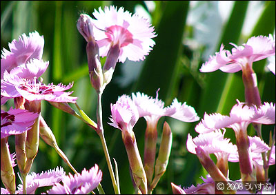 ナデシコ -Dianthus superbus-