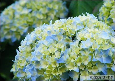 アジサイ -Hydrangea macrophylla form. macrophylla-